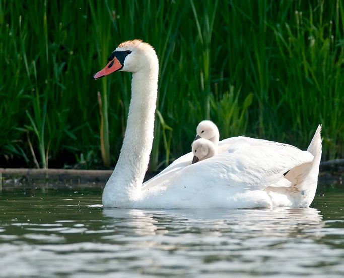 Duckling on swans back